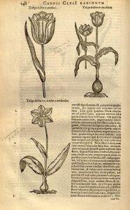 Carolus Clusius -Tulipán