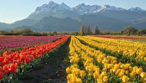 Sembradío de Tulipán- PBajos